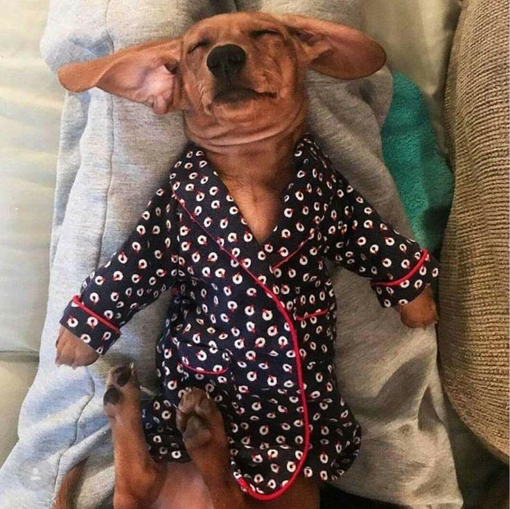 "Dachshund, in a ""barking jacket"" or a robe?"