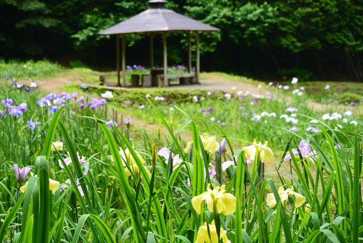 【花しょうぶ園】今日の様子です!伊豆高原「池のたんぼ」で里山の風景 菖蒲は、まだ蕾もたくさんで暫く見頃が楽しめそうです。 #伊豆 #izu #菖蒲 一昨年はこんな感じ2013年6月17日http://plaza.rakuten.co.jp/parte/diary/201306170000/…