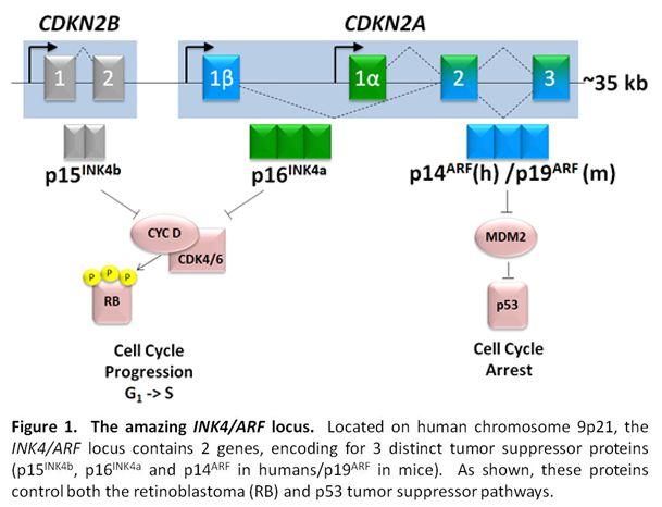 Burd Fig. 1: CDKN2a gene