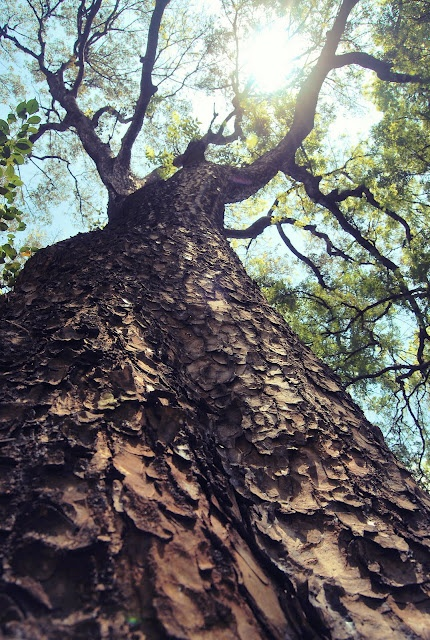 Giant tree at Taman Suropati. #jakarta
