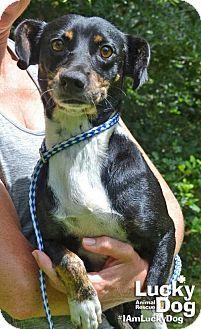 Washington, DC - Dachshund/Miniature Pinscher Mix. Meet Olivia, a dog for adoption. http://www.adoptapet.com/pet/18477245-washington-dc-dachshund-mix