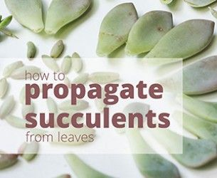 How to Propagate Succulents from Leaves • Succulents and Sunshine