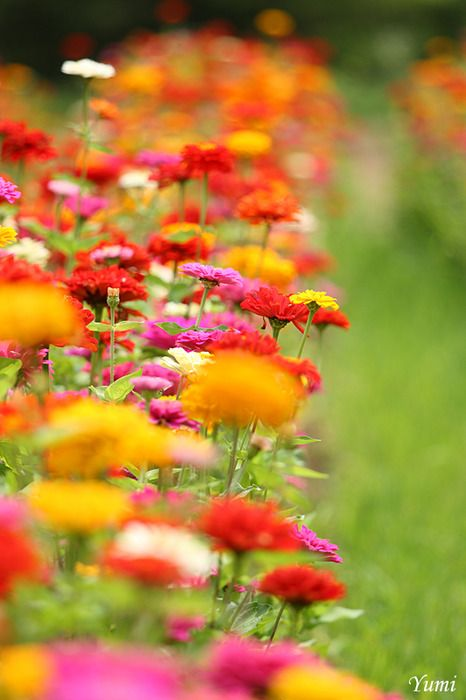 ❥Such Beautiful Zinnias❥