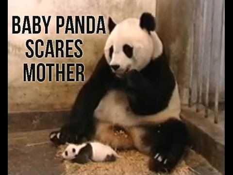 Baby Panda Bear Scares Mother - YouTube