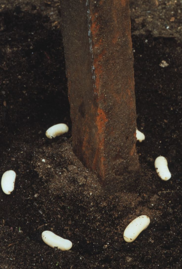 Sow 6 to 8 bean seeds in a circle around each pole of a tepee.