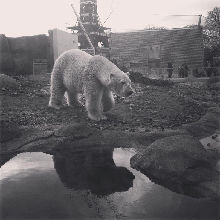 Polarbear in CPH ZOO