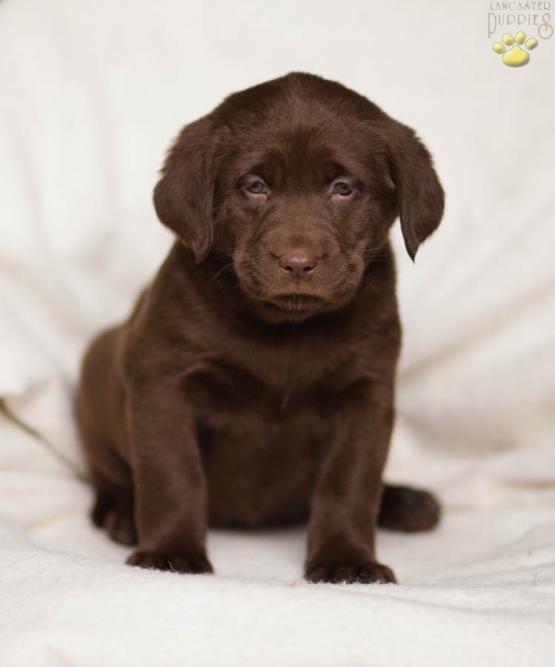 <3 Labrador Love <3 #Labrador Retriever #Lab  #Retriever #LabLove #BuckeyePuppies #Puppies #Pups #Pup #Puppy #Funloving #Sweet #PuppyLove #Cute #Cuddly #ForTheLoveOfADog #MansBestFriend #ChildrenFriendly #puppyandChildren #ChildandPuppy www.BuckeyePuppies.com