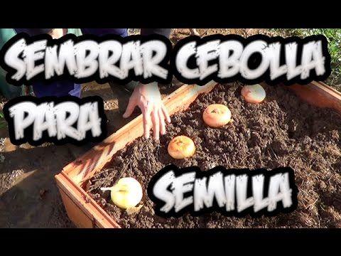 Como Sembrar Cebolla Para Semilla || Cultivo Organico || La Huertina De ...