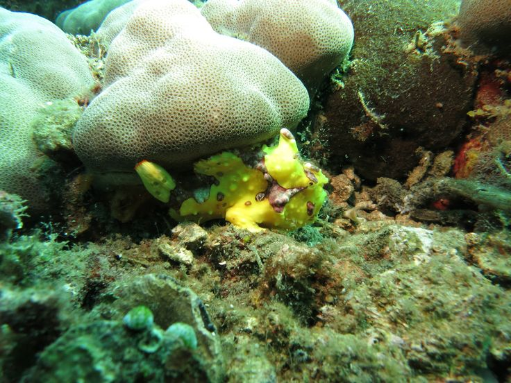Een painted frogfish in Lembeh Strait. Rondreis - Vakantie - Duiksafari - Duiken - Scubadive Holiday - Indonesië - Noord-Sulawesi - Lembeh Strait - Painted Frogfish - Original Asia