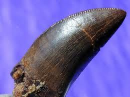 T. Rex tooth. Class Sauropsida, Superorder Dinosauria, Order Ornithischia, Suborder Theropoda, Family Tyrannosauridae
