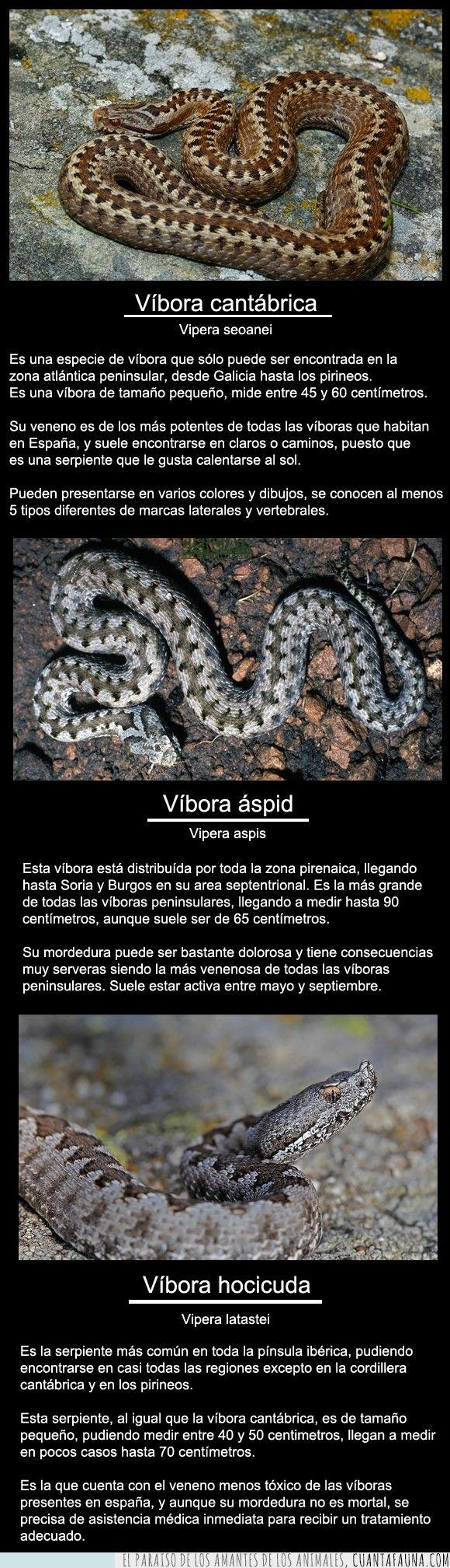 Serpientes venenosas en España