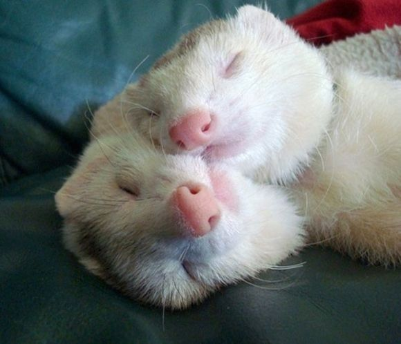 two cute white ferrets sleeping together