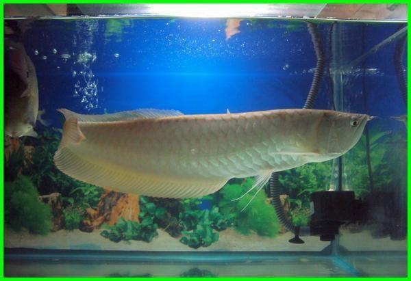 Cara Memelihara Ikan Arwana Silver Yang Baik Di Akuarium Ekor9 Com Ekor9 Com Di 2020 Binatang Ikan Ikan Air Tawar