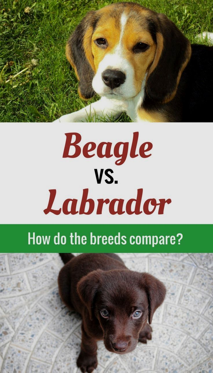 Pin By Mary S Picklesimer On Beagle Beagle Dog Beagle Puppy