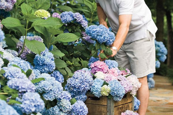 The Grumpy Gardener's Guide to Hydrangeas- Southernliving. From planting to pruning and caring in between, here is the ultimate guide for your hydrangeas.   Ladies across the South are gaga for hydrangeas. Men are tittering too.