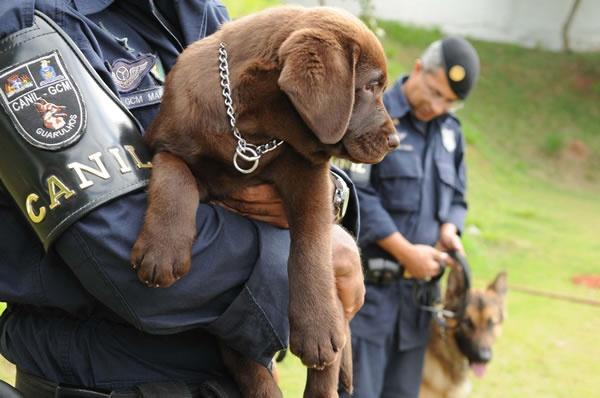 Filhote de labrador é o novo membro do Canil da Guarda Municipal http://www.guarulhosonline.com/noticias/sociedade/filhote-de-labrador-e-o-novo-membro-do-canil-da-guarda-municipal/