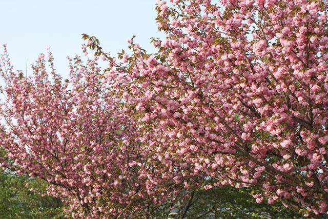 cherry blossoms(関山)