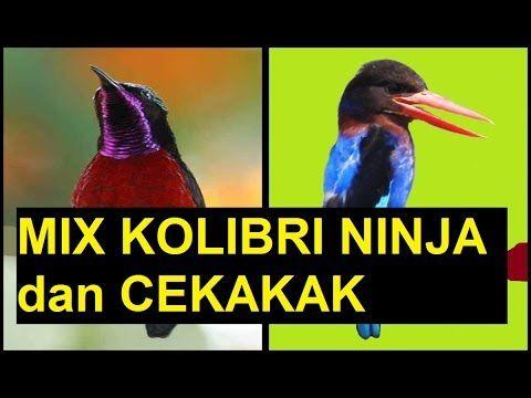 Burung Masteran Murai Batu,Cucak Jenggot,Lovebird,Cucak Ijo,Kenari:Mix Kolibri Ninja dan Cekakak. mp3 suara burung kolibri ninja gacor. mp3 suara burung kolibri wulung gacor. mp3 suara burung konin gacor mp3 suara burung cekakak  gacor.mp3 suara burung raja udang gacor.mp3 bird song. Mp3 kingfisher