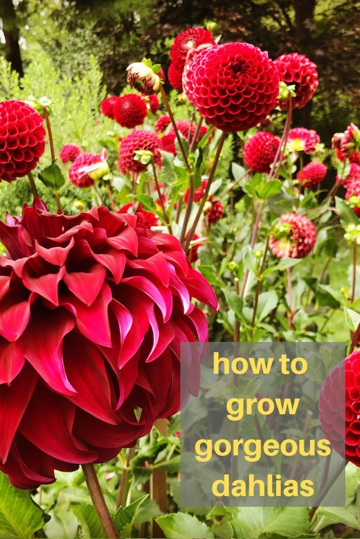 Learn All You Need To Know About Planting Watering Fertilizing And Growing Dahlias These Are One Of The Most Growing Dahlias Planting Dahlias Dahlia Care