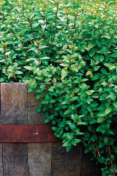 Learn all about the history and uses of mint—includes growing information and lots of recipes!