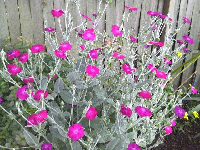 Rose Campion -wunderschön,blüht von Juni an.