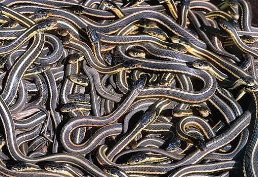 New Website Content: A spectacle of snakes. Narcisse Snake Dens of Manitoba. The largest population of overwintering red-sided garter snakes in the world gather together in writhing, tangled masses as they perform their spring mating ritual. Written by Tania Moffat of Pegasus Publications.