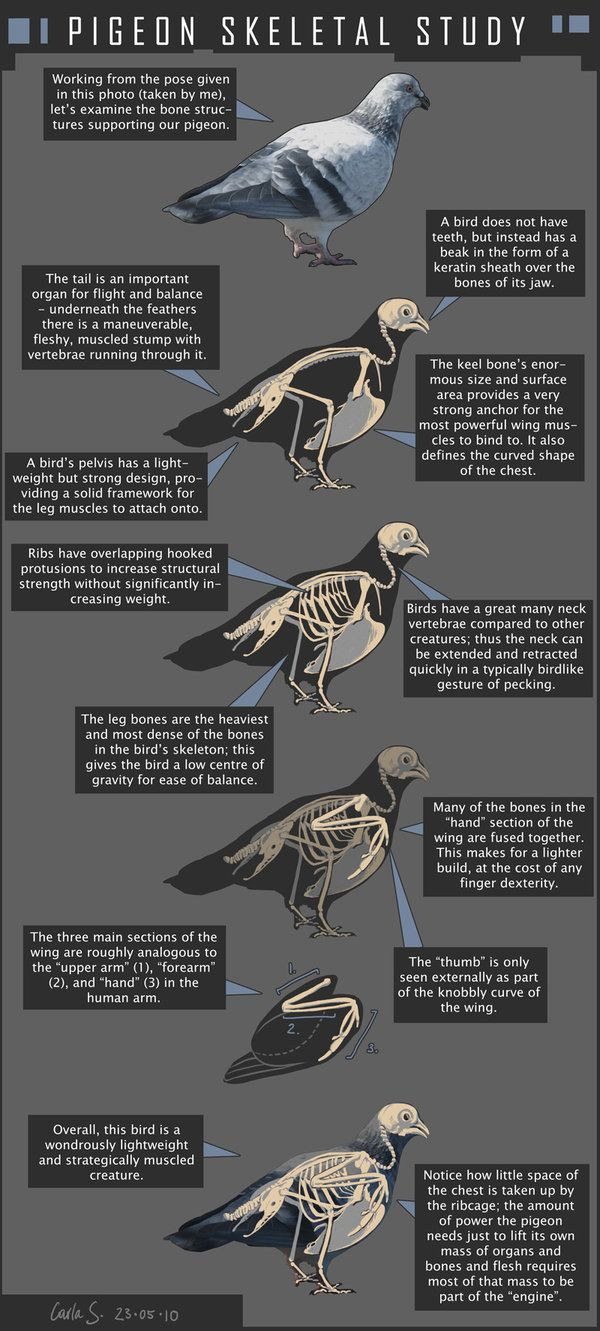 Pigeon Skeletal Study by redwattlebird.deviantart.com on @DeviantArt