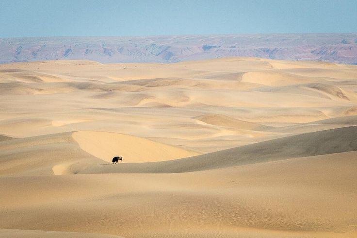 Brown hyaena in the Namib Desert - Hartmann's Valley, Namibia