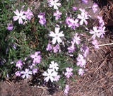 Mental note - divide creeping phlox after it blooms and use as a ground cover in the new garden area.