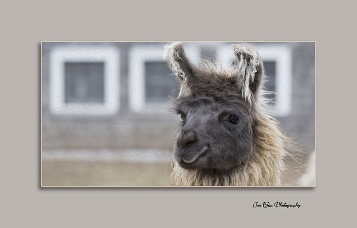 This Llama Llama is a matching print for my famous winning sheep picture www.janwanphotography.com