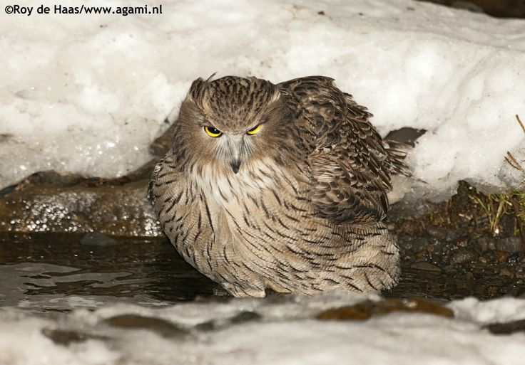 One of the rarest Owls in the World, the Blackiston's Fish ...