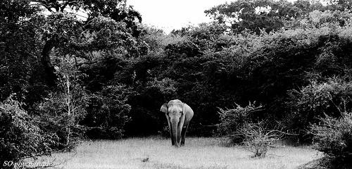 lonely asian elephant, Arugam Bay, Sri Lanka (www.secretlanka.com)