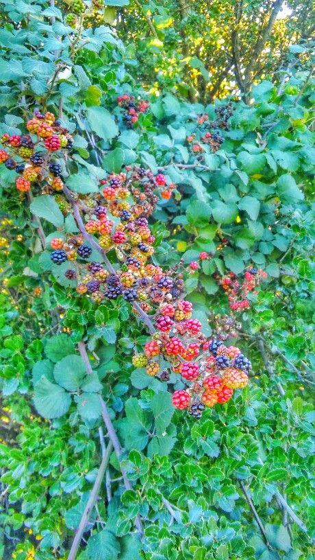 A berry tree