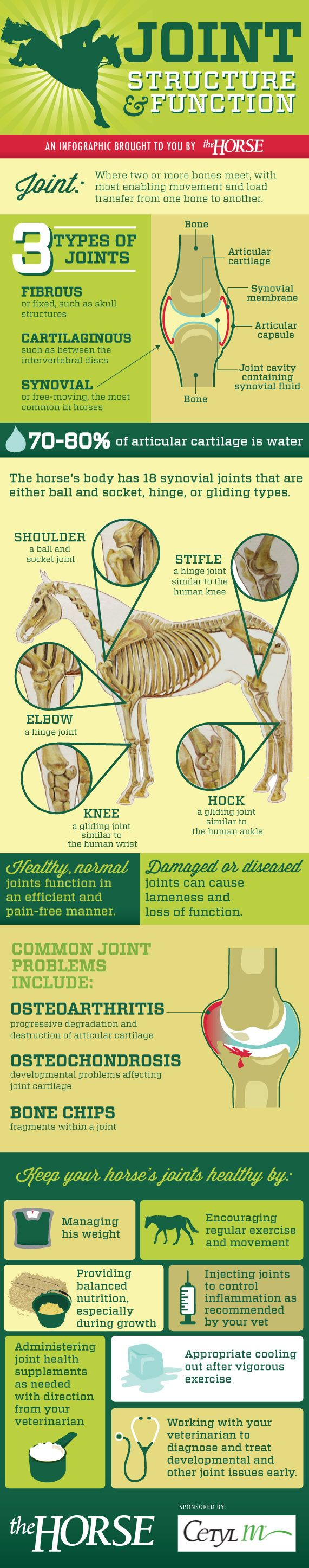[INFOGRAPHIC] Learn about how horse joints work and how you can keep your horse's joints healthy with this step-by-step visual guide, brought to you by TheHorse.com and Response Products (Advanced Cetyl M). #horses #horsehealth