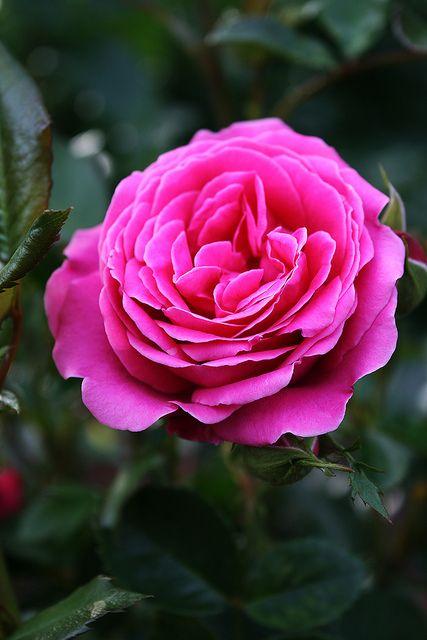 "Pink/Lilac Rose ""Haga Slott"" - by Pia"