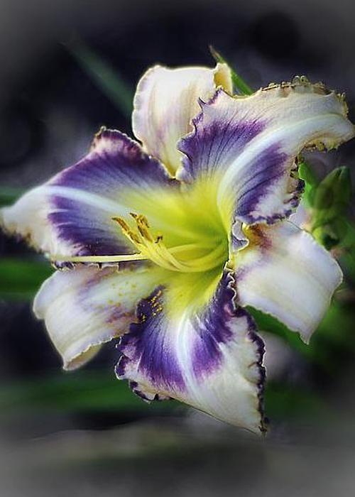 Daylily (by Arnie Goldstein) hemerocallis per i fanatici della botanica (ma non conosco il nome del 'cultivar'...