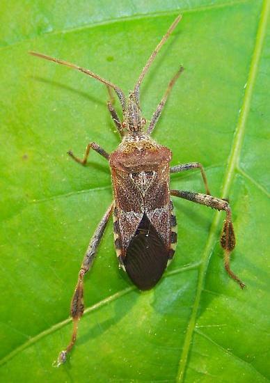 western_conifer_seed_bug