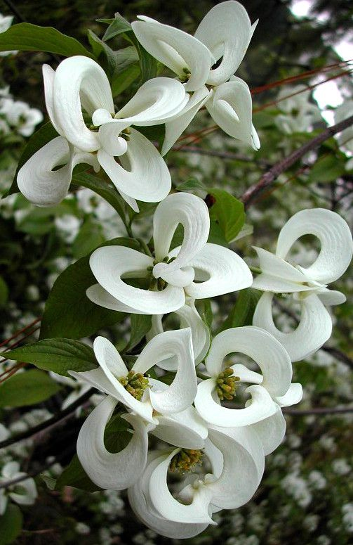 Enchanting 'Magic Dogwood' (Cornus florida subsp. urbiniana) is a rare Mexican version of the common American Dogwood tree with magical blossoms shaped like Chinese lanterns.