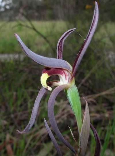 Lyperanthus suaveolens - Australian Orchid