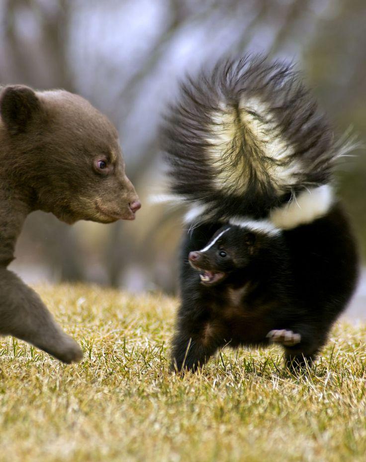 skunk facts, skunk information