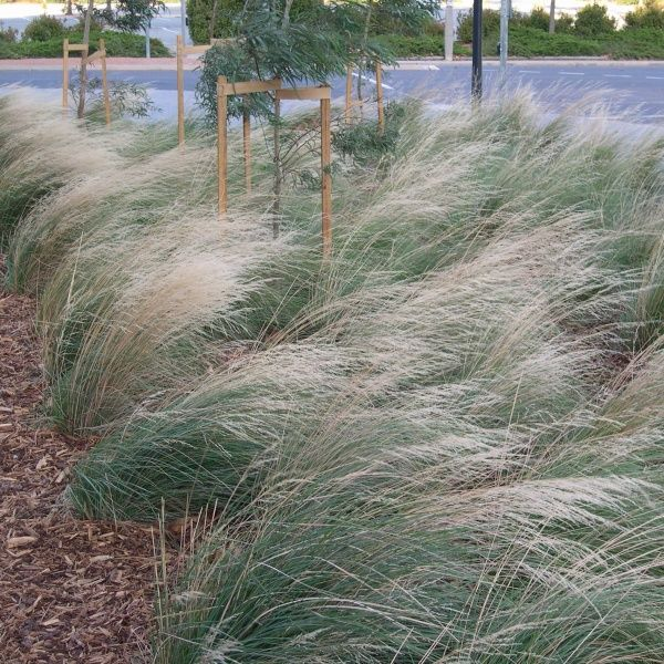 Poa 'Eskdale' mass planted adds movement to your garden designs.