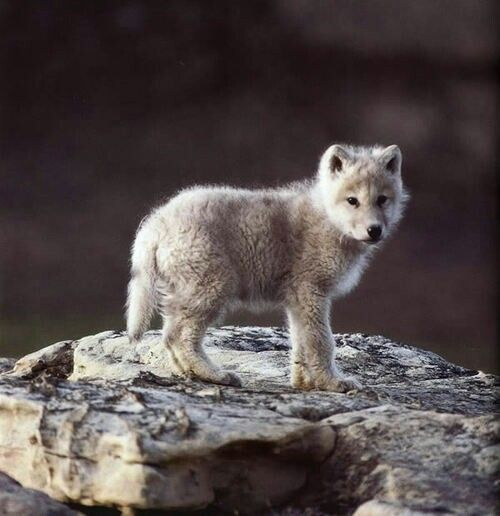 LONE WOLF PUPPY | Our Counterparts | Pinterest
