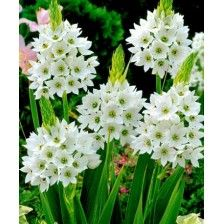 #Flower Seeds Online India, Flower #Seeds, #Buy Flower Seeds #Online, #Order flower #Seeds Online, #Flower Seeds Online #Purchase India http://kraftseeds.com/flower-bulbs