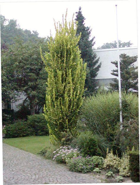 GOLDULME Dieser schöne säulenförmige Baum kann nach Jahren eine Höhe von 7 - 12 Metern erreichen. Die Borke ist braun und glatt. Die Blätter sind elliptisch, grob, und goldgelb gefärbt. Im verlauf des Jahres färben sie sich in ein gelbgrün. Sie haben eine Größe vo