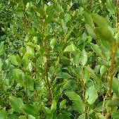 Paramount Plants & Gardens - Griselinia Littoralis - New Zealand Privet