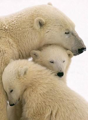 Polar Bear and her cubs by patrica