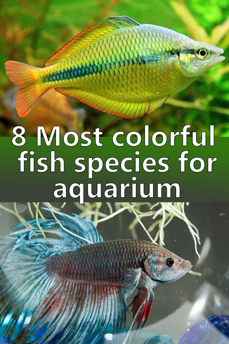 Keep On Reading To Discover The 8 Most Colorful Freshwater Fish Species For Aquarium Tank Freshwater Aquarium Fish Fresh Water Fish Tank Tropical Fish Aquarium