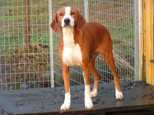 Hound Dog Breeds With Pictures