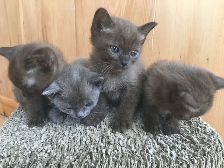 ••• Currently available Burmese, Siamese, Tonkinese and Thai kittens near Washington, DC. Indian Spring Cats Kittens for Sale