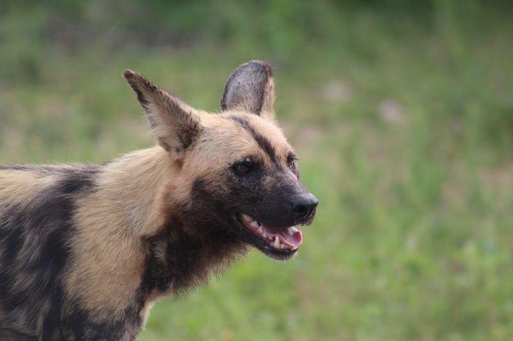 Kruger National Park South Africa, if you wish to visit us, contact me at krugerdrives@gmail.com.  Wild dog in Kruger
